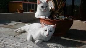 Χαρίζονται λευκά γατάκια για υιοθεσία
