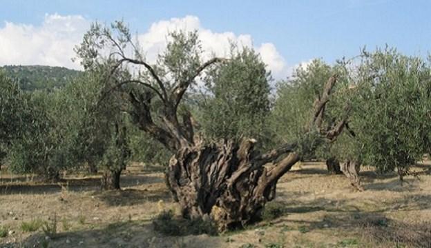 Περιφέρεια Ν. Αιγαίου: Κάλεσμα συμμετοχής στην προστασία αιωνόβιων ελαιοδέντρων