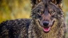 """""""Λύκος"""""""