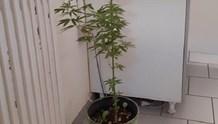 Καλλιεργούσε στο σπίτι του φυτά κάνναβης